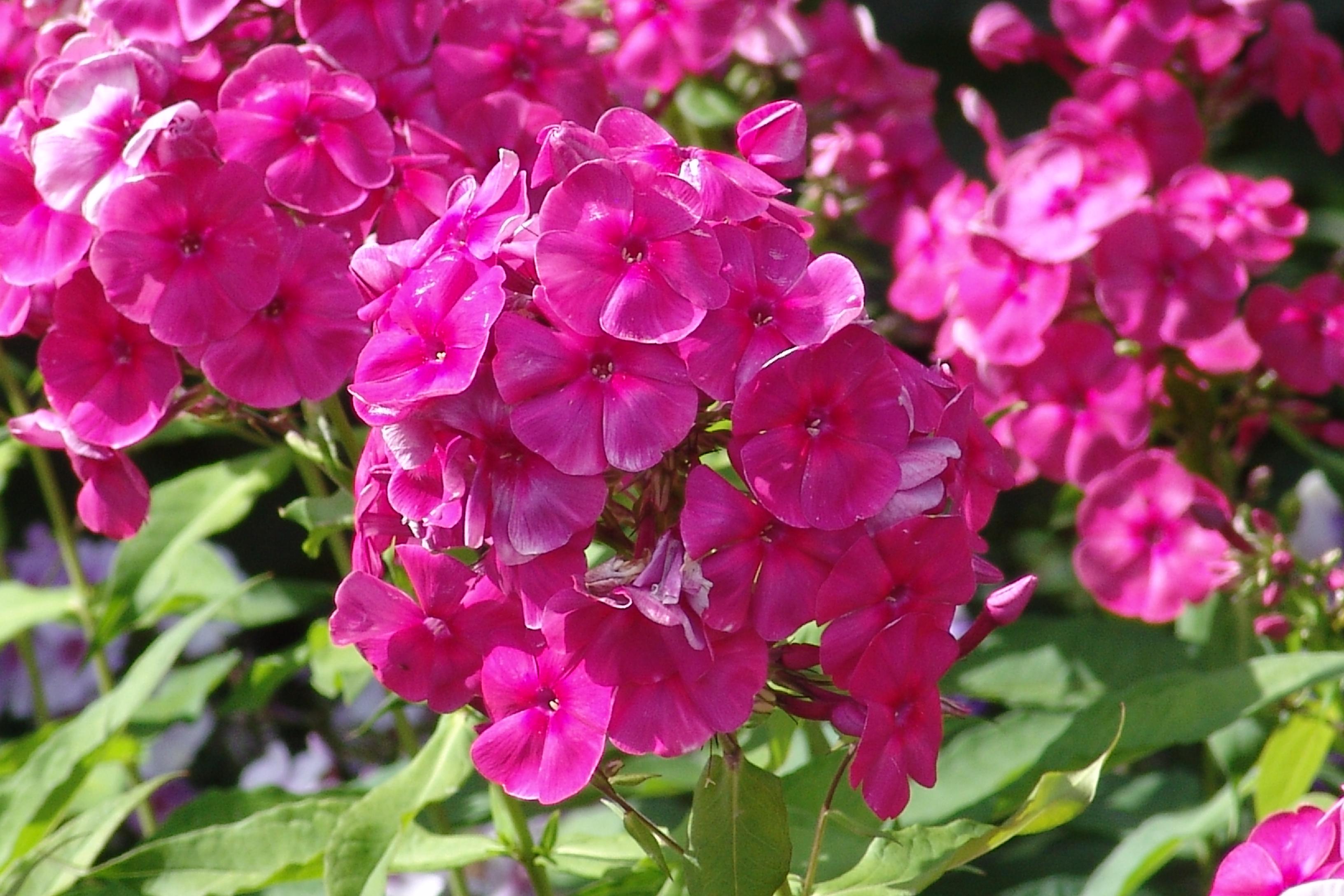 Флоксы - Садовые растения и цветы